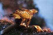 Golden Eagle sitting on a Fox, in late evening sunlight | Kongeørn som sitter på en rev, i senkvelds sollys.