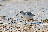 A Sanderling, Calidris alba, searches for food on a beach in Cape May, NJ, during the spring migration. The circumpolar Arctic breeders, spend their winters in warmer climates such as South America, South Europe, Africa and Australia.