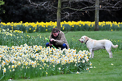 &copy; Licensed to London News Pictures.30/03/2018<br /> GREENWICH, UK.<br /> A man and his dogs taking pictures.<br /> Greenwich Park  Daffodils on a cloudy good Friday morning.<br />  Photo credit: Grant Falvey/LNP