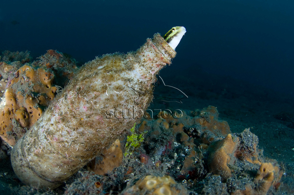Shorthead Fangblenny, Petroscirtes breviceps, living in discarded bottle, KBR, Lembeh Strait, Sulawesi, Indonesia.