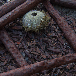 Sea Urchin Shell and Old Iron Bars, Nautilus Island, Castine, Maine, US