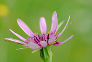 Salsify flowers (Tragopogon porrifolius). Photographed in Thessaly, Greece in May.