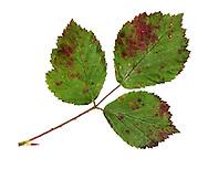 violet bramble rust<br /> Phragmidium violaceum