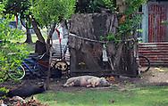 Domestic pigs lazing outside a village house, Tonga
