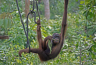 Young orangutan, Sepilok orangutan rehabilitation centre, Sandakan, Sabah, Northern Borneo.
