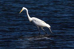 Great Egret (Ardea alba), Coyote Point Recreation Area, San Mateo, California, United States of America