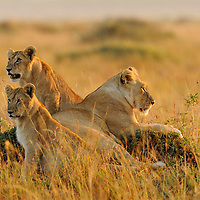 Lioness and cubs (Panthera leo) at dawn, Masai Mara, Kenya