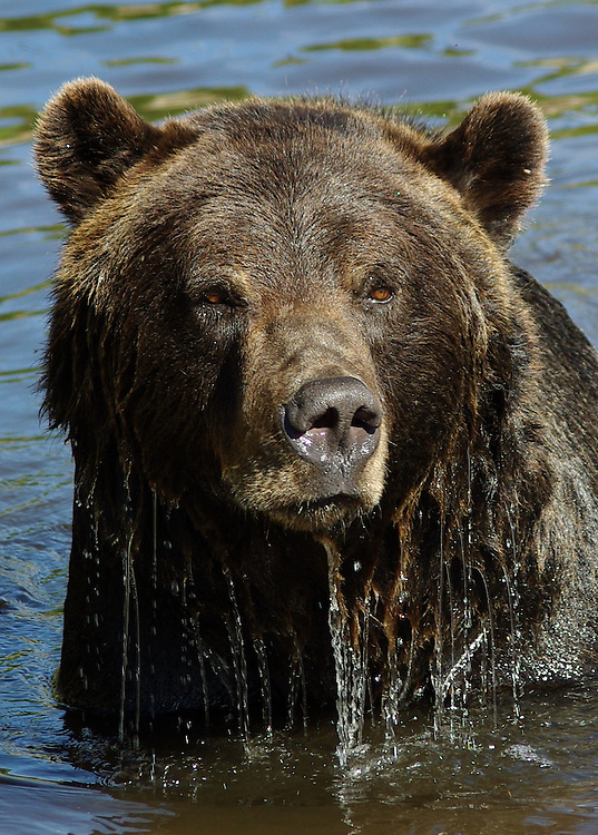 Grizzly bear on Grouse Mountain, Vancouver, British Columbia, Canada