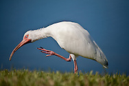 A white ibis scratching an itch.