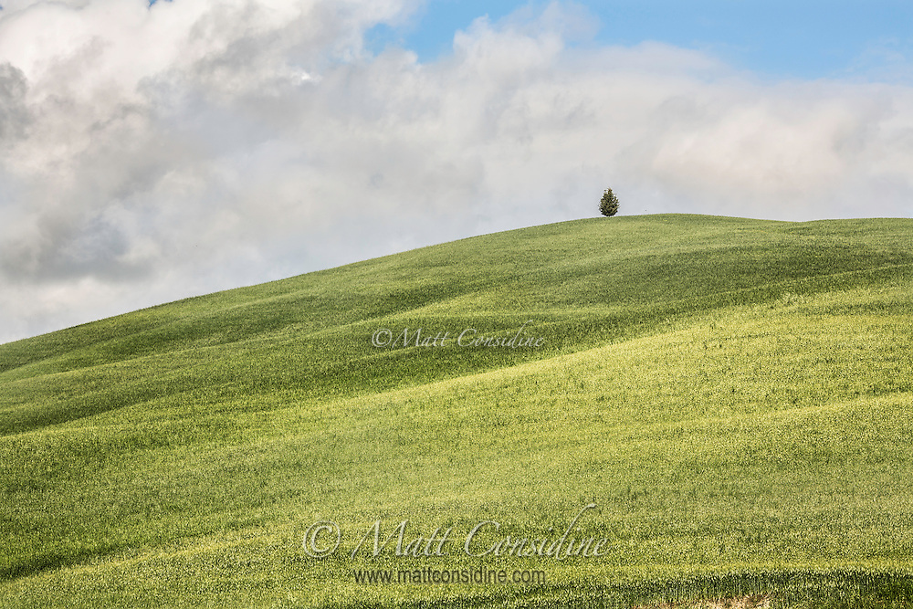 Hill of wheat with lone pine. (Photo by Travel Photographer Matt Considine)