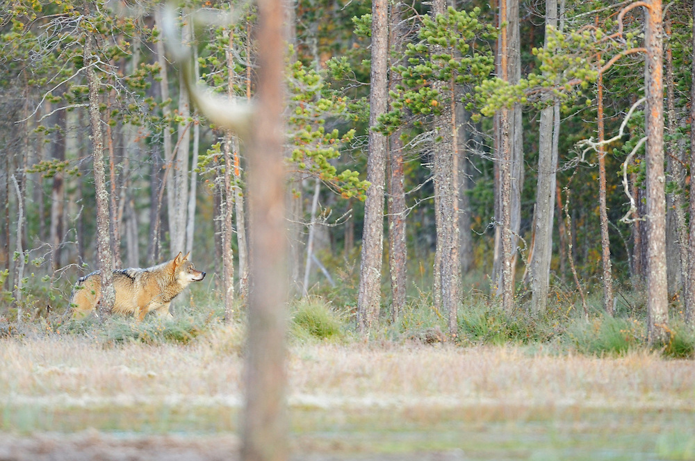 Eurasian wolf, Canis lupus in Kuhmo, Finland.
