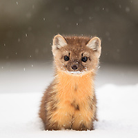 Eye to Eye: American Marten<br /> American Marten <br /> Martes americana<br /> Yellowstone National Park, USA<br /> By Tim Auer<br /> Mountain View, California, USA<br /> www.4b.io<br /> The story: <br /> Look closely into this marten&rsquo;s eyes. If you look carefully, you can see the reflection of the forest scene before it.<br /> <br /> A curious and playful species, the american marten is not an easy animal to photograph. It is small and fast with an ability to vanish as quickly as it appeared, and certainly won&rsquo;t wait for you to switch to your telephoto lens. If a wildlife photographer wishes to capture this species in its natural habitat, s/he needs to be prepared upon encounter..  <br /> As is typical of special wildlife photos, this photo is the result of preparation, and a bit of luck. While snowmobiling through Yellowstone, I stopped for a break near the Swan Lake Flat. Fortunately, I had an optimal set&shy;up already on my camera, 600mm F/4 +1.4x Extender, giving 840mm focal length. I drove the snowmobile with this camera+lens on my lap all day, which, given the size of this kit, is no easy task to do while handling a snowmobile. But having this kit immediately available during the few brief seconds the marten was in sight, made this shot possible. The marten bounded with ease on top of the 4 ft/1.5m deep powder snow, and appeared to play peek&shy;a&shy;boo from behind trees, while I post&shy;holed clumsily behind it, keeping the lens barrel above my head to keep snow out. It was not easy to get into shooting position with such deep snow, in fact it was exhausting.  But as I crouched deep in the snow, at eye level with the marten while flakes of powder snow fell softly, I clicked this sharp result. <br /> <br /> The American Marten is classified as a furbearer by most of the state wildlife agencies in its distribution, but fortunately, several of the states it calls home do not have a trapping season for it. Still its presence is an important indicator of the overall health of its forest ecosystem. It requires a rather large home range for a m