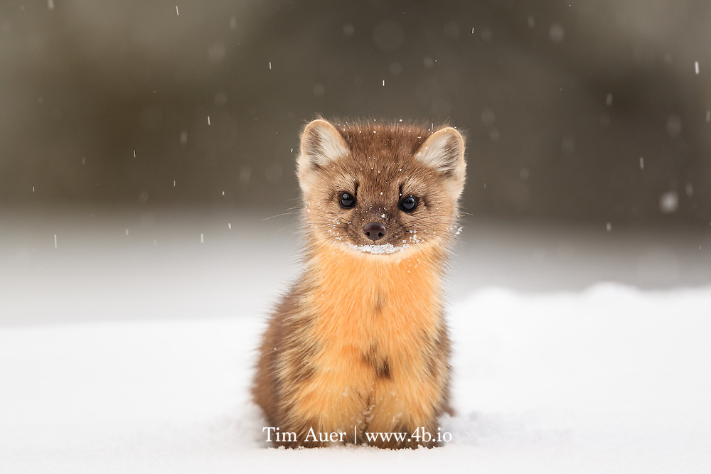 Eye to Eye: American Marten<br /> American Marten <br /> Martes americana<br /> Yellowstone National Park, USA<br /> By Tim Auer<br /> Mountain View, California, USA<br /> www.4b.io<br /> The story: <br /> Look closely into this marten&rsquo;s eyes. If you look carefully, you can see the reflection of the forest scene before it.<br /> <br /> A curious and playful species, the american marten is not an easy animal to photograph. It is small and fast with an ability to vanish as quickly as it appeared, and certainly won&rsquo;t wait for you to switch to your telephoto lens. If a wildlife photographer wishes to capture this species in its natural habitat, s/he needs to be prepared upon encounter..  <br /> As is typical of special wildlife photos, this photo is the result of preparation, and a bit of luck. While snowmobiling through Yellowstone, I stopped for a break near the Swan Lake Flat. Fortunately, I had an optimal set&shy;up already on my camera, 600mm F/4 +1.4x Extender, giving 840mm focal length. I drove the snowmobile with this camera+lens on my lap all day, which, given the size of this kit, is no easy task to do while handling a snowmobile. But having this kit immediately available during the few brief seconds the marten was in sight, made this shot possible. The marten bounded with ease on top of the 4 ft/1.5m deep powder snow, and appeared to play peek&shy;a&shy;boo from behind trees, while I post&shy;holed clumsily behind it, keeping the lens barrel above my head to keep snow out. It was not easy to get into shooting position with such deep snow, in fact it was exhausting.  But as I crouched deep in the snow, at eye level with the marten while flakes of powder snow fell softly, I clicked this sharp result. <br /> <br /> The American Marten is classified as a furbearer by most of the state wildlife agencies in its distribution, but fortunately, several of the states it calls home do not have a trapping season for it. Still its presence is an important indi
