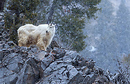 Mountain Goat out on the bluff enjoying the snow