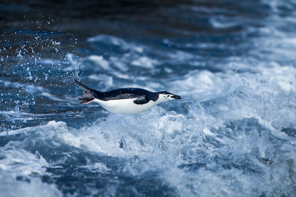 Antarctica, South Shetland Islands, Chinstrap Penguin (Pygoscelis antarcticus) porpoises while swimming through surf toward Bailey Head on Deception Island