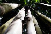 Belo Horizonte_MG, Brasil...Bambus no Jardim Botanico de Belo Horizonte. Na foto detalhe de bambu...Bamboos in the Botanical garden in Belo Horizonte. In this photo, detail of bamboos...Foto: LEO DRUMOND / NITRO