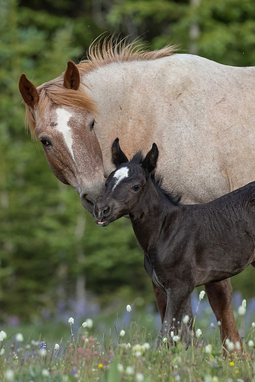On Pryor Mountain in late June, the 18 year-old mare, Ireland, gave birth to her twelfth foal, Pegasus. Always the attentive mother, Ireland was very protective of her little one and never left her side.
