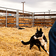 Stock dogs in the pen during the Stock Dog Auction Preview at the National Western Stock Show. Stock dogs are used on farms and ranches to herd cattle.