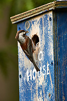 Chestnut-backed Chickadee (Poecile rufescens) parent arriving at nestbox to feed young,   Gabriola , British Columbia, Canada