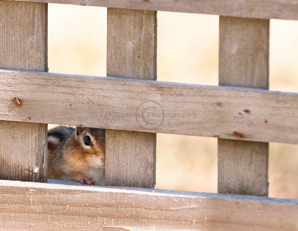 Chipmunk hides behind trellis