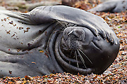 "A young southern elephant seal raises its flipper as if saying ""why me""!"