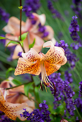 Lilium Tiger Babies Group with Lavandula angustifolia 'Hidcote' (English lavender)