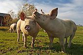 Pigs - Gris