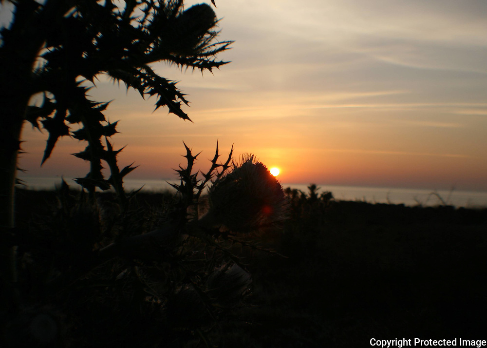 A brilliant sunrise or sunset on the beach with  silhouettes of beach thistles.