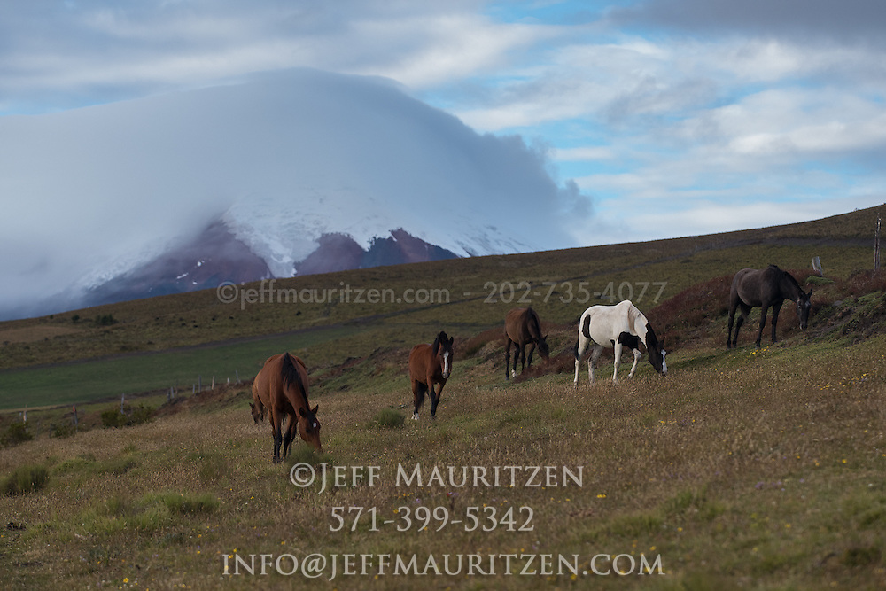 Andean horses graze in the grasslands below Cotopaxi Volcano, Ecuador.