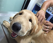 Mar 25, 2016 - Thailand - A Golden Retriever in Thailand who was stung by an insect just couldn't 'stop smiling'! Even after the dog was rushed to the vet, she kept smiling through the inflammation. The canine's owner, Natthathida Nilburt snapped the happy pup on her camera.  <br /> Fortunately, Nilburt has fully recovered - which is very lucky as some insect stings can be deadly (Credit Image: © Exclusivepix Media)