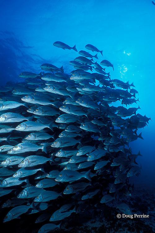 golden-eyed grunts, Haemulon scudderi, Galapagos Islands, Ecuador,  ( Eastern Pacific Ocean )