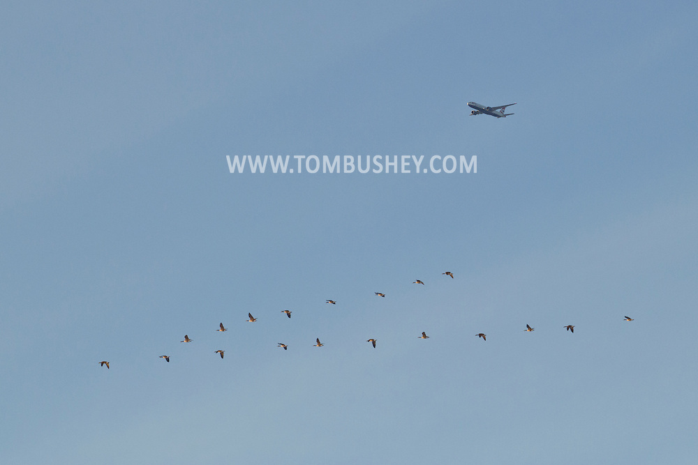 Goshen, New York - A jet airplane and a flock of Canada geese fly through the sky on Feb. 10, 2013.