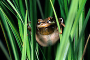 A pacific treefrog (Hyla regilla) hiding in grass. Oregon Coast.