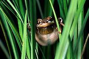A pacific treefrog (Hyla regilla) hiding in grass. Oregon Coast.