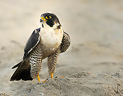 Peregrine Falcon in the sand on the beach in Cocoa Beach, Florida