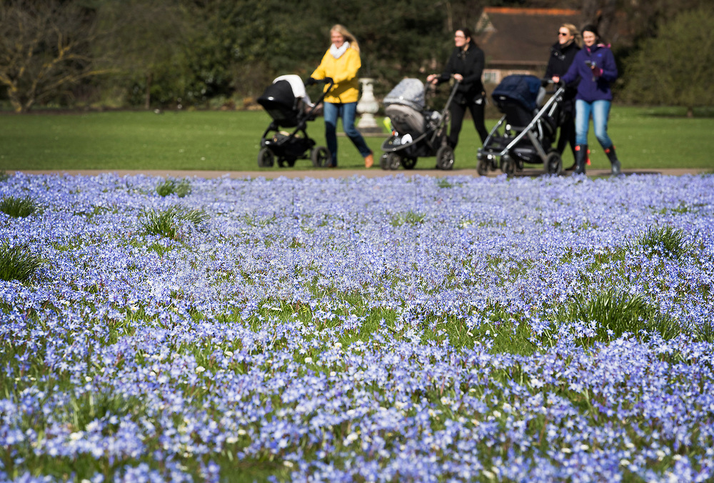 © Licensed to London News Pictures. 21/03/2017. London, UK. Visitors past a carpet of glory-of-the-snow flowers at the Royal Botanic Gardens Kew in afternoon sunshine.  Photo credit: Peter Macdiarmid/LNP
