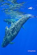 short-finned pilot whales, Globicephala macrorhynchus, South Kona, Hawaii, U.S.A. ( Central Pacific Ocean )