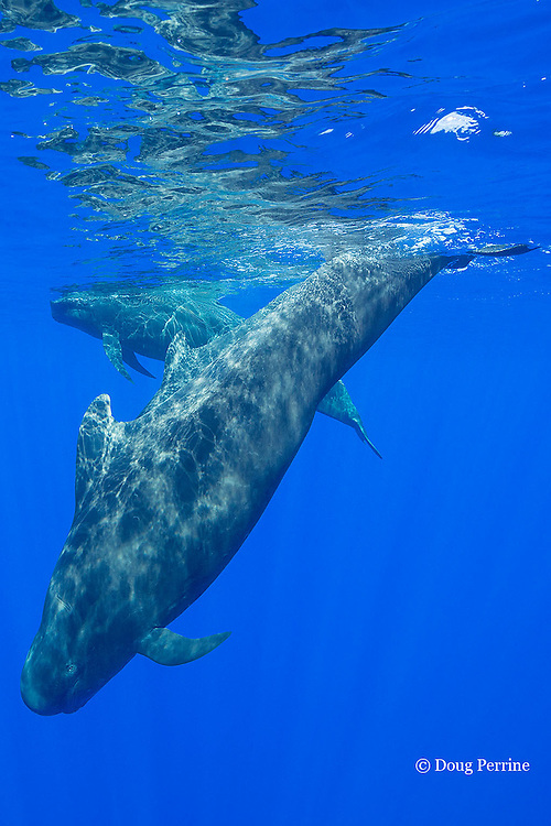 short-finned pilot whales, Globicephala macrorhynchus, South Kona, Hawaii, U.S.A. ( Central Pacific Ocean )