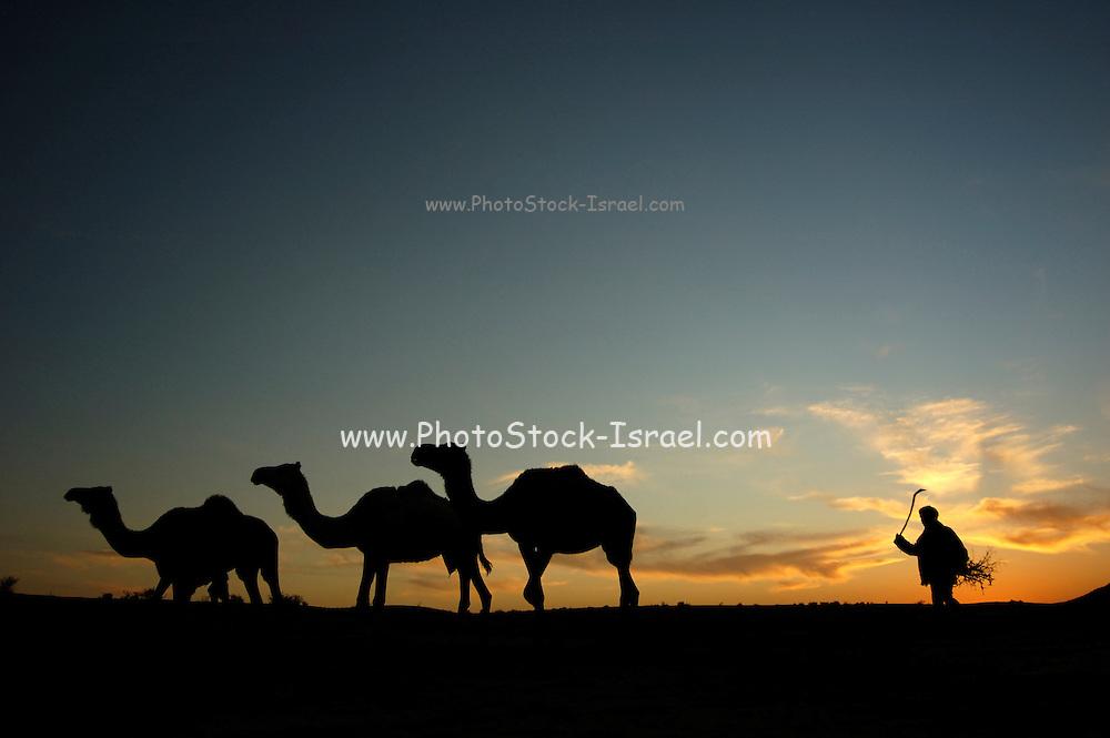 Israel, Negev Desert, Silhouette of a herd of Arabian camels (Camelus dromedarius) at sunset