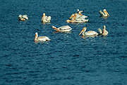 American white pelican (Pelecanus erythrorhynchos) on Lake of the Woods<br />