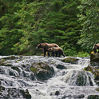 Chatham Strait Grizzly Bear mother and cubs
