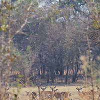A small herd of impala.