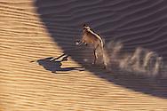 A dog runs through a sand dune in the desert.