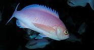 Pink Maomao