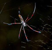 Female giant orb spider (Nephila sp., possibly Nephila komaci, dorsal view) in the forest at Palmarium Resort, Madagascar.