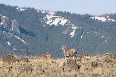 Wildlife: Mule Deer, Female