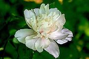 Peony - Paeonia sp