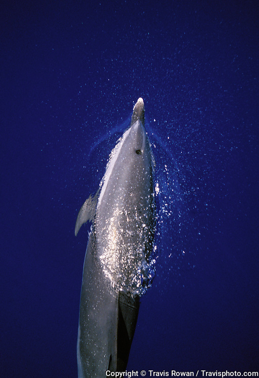 A pacific spotted dolphin exhales while barely breaking the surface off the coast of Kona, Hawaii.
