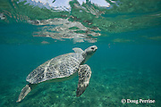 Australian flatback sea turtle, Natator depressus, endemic to Australia and southern New Guinea, rises toward surface to breathe, Australia