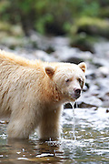 """The Kermode bear, also known as the """"spirit bear"""" or """"ghost bear"""", is subspecies of the American Black Bear living in the central coast of British Columbia, and noted for a small percentage of their population having white or cream-coloured coats. This colour variant is due to a unique recessive trait in their gene pool—they are neither albino nor related to polar bears.<br /> <br /> Because of their ghost-like appearance, """"spirit bears"""" hold a prominent place in the American Indian mythology of the area.<br /> <br /> The kermodei subspecies ranges from Princess Royal Island to Prince Rupert Island on the coast, and inland toward Hazelton, British Columbia."""